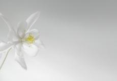01 ancolie blanche