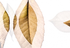 11 Leaves