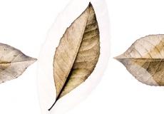 12 Leaves