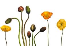 01 Poppies