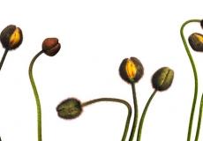 04 Poppies