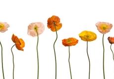05 Poppies