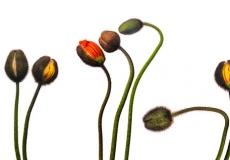 06 Poppies