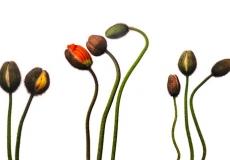 08 Poppies