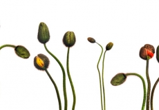 09 Poppies