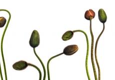 11 Poppies