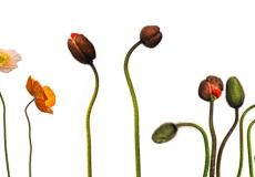 12 Poppies