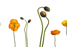 15 Poppies