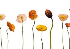 17 Poppies