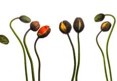 18 Poppies