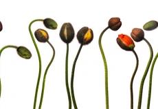 19 Poppies
