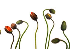 21 Poppies