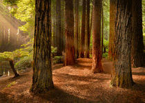 redwood_otways